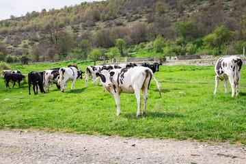 Bulgarian Brown Black White Domestic Cows 'Bos Taurus' mammals
