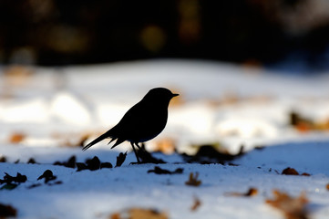 Silhouette of wintering Robin among dry leaves in the snow