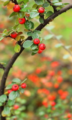 red holly with green leaves