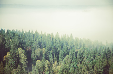 thick morning mist in coniferous forest. coniferous trees, thickets of green forest.