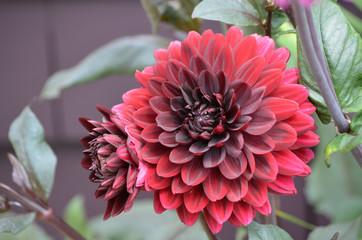 Blooming Red Dahlia Flowers