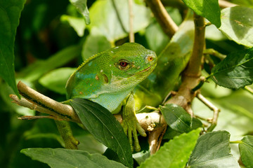 Male Fiji banded iguana (Brachylophus fasciatus) on Viti Levu Is