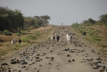 Goats on a road under construction, Valley Omo, Ethiopia.