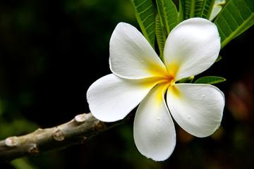 Printed roller blinds Plumeria White plumeria flower