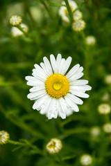 white daisy flowers closeup