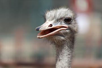 Ostrich head closeup shot