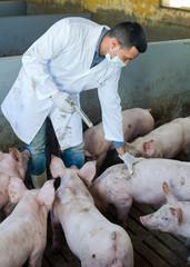 Male veterinarian at pig farm.
