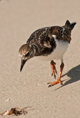 Sea bird walking to find next meal