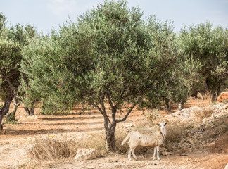 Olive trees garden. Village on the background.