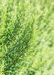Rosemary herb in the garden. Closeup.