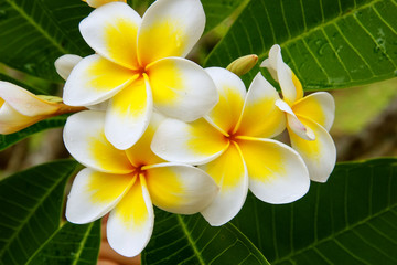 Spoed Fotobehang Frangipani White and yellow plumeria flowers