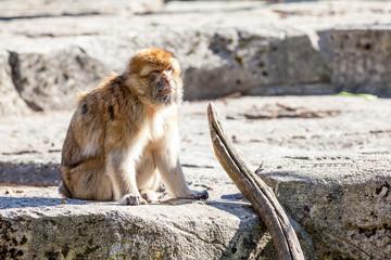 The mountain monkey