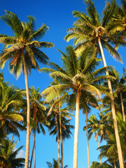 Palm trees agains blue sky in Lavena on Taveuni Island, Fiji