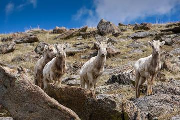 Group of Bighorn Sheep