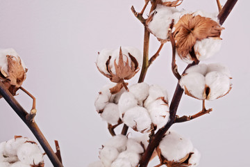 Organic Cotton plant flower branch