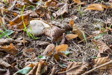 Pilz begraben von Laub