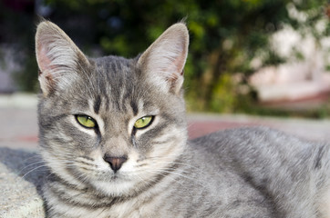 Gray Cat Looking At The Camera