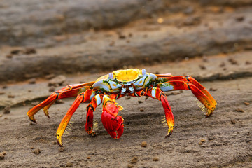 Sally lightfoot crab on Santiago Island in Galapagos National Pa