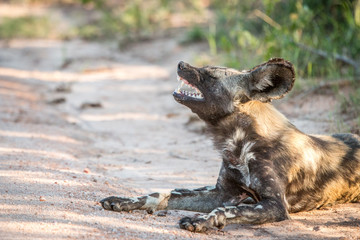 Yawning African wild dog in the Kruger National Park, South Afri
