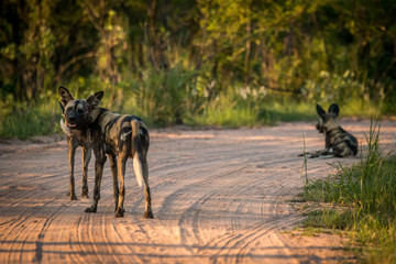 Resting African wild dogs in the Kruger National Park, South Afr