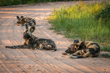 Resting African wild dog in the Kruger National Park, South Afri