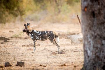 Side profile of an African wild dog in the Kruger National Park,