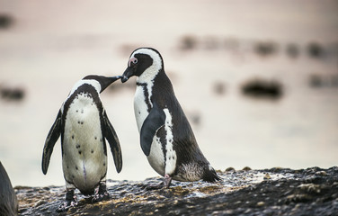 Kissing Penguins. African penguins during mating season. African penguin ( Spheniscus demersus) also as the jackass penguin and black-footed penguin. Boulders colony. South Africa