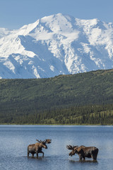 Two bull moose feeding in Wonder Lake with Denali in the backgro
