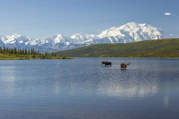Two bull moose feeding in Wonder Lake with the Alaska Range in t