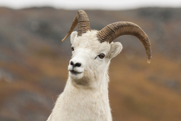 Curious dall sheep ram checking me out in Denali National Park,