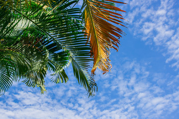 palm leaves and the blue sky with cloud background.