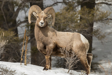 Bighorn Ram in Gallatin National Forest, Montana.