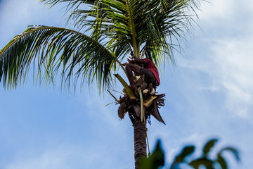 a gardener saw coconut tree