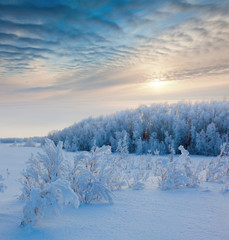 winter forest in sunset time