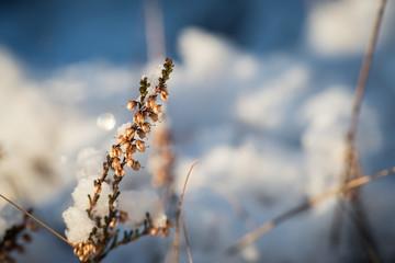Frozen heather in winter