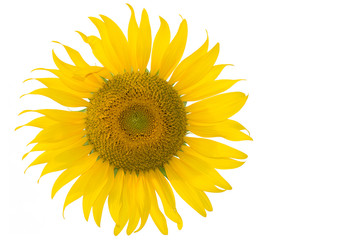 Sunflower on white background and blank space for your work
