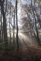 Fog and sunrays  in the forest