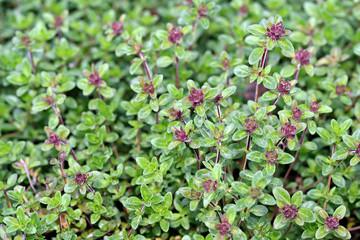 Thymus citriodorus (Lemon thyme or Citrus thyme)