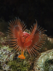 Variable Tube Worm, Bunter Kalkröhrenwurm (Serpula vermicularis)