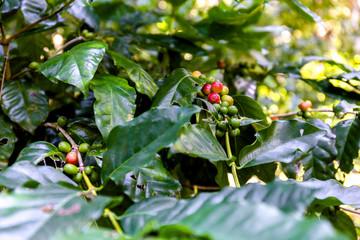 Wall Mural - Kaffeepflanzen bei Las Terrazas