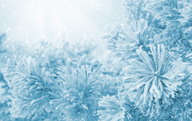 Winter bright landscape. Winter Christmas background with bright flowers pine in hoarfrost.