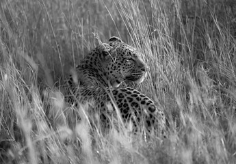 Leopard resting in the long grass of the Serengeti, Tanzania, Africa