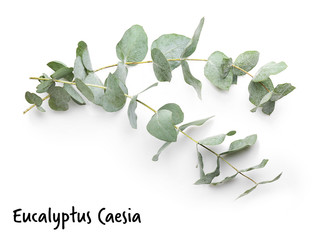 Green eucalyptus branches with name on white background