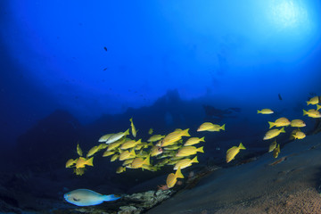 Scuba divers diving on coral reef underwater
