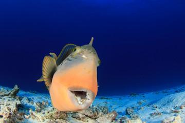 Triggerfish fish