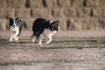 Dogs - Border Collie