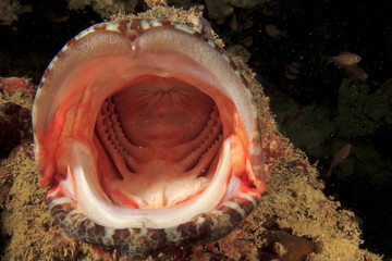 Scorpionfish mouth yawning