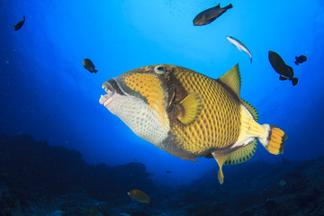 Reef fish: Titan Triggerfish