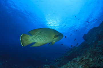Napoleon fish on coral reef in ocean