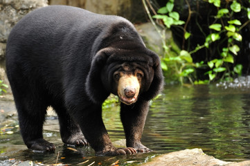 Malayan sun bear looking to camera